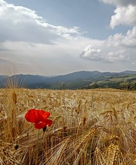 ** EXPLORED ** The colour of the wheat- Il colore del grano (Robyn Hooz) Tags: panorama color ex clouds canon corn day colore cloudy sigma explore filter fox poppy antoinedesaintexupry polarizer 1020 lanscape thelittleprince grano gmt volpe filtro papavero spighe ilpiccoloprincipe polarizzatore hsm explored 550d mywinners