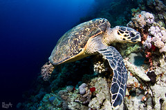 My beloved turtle (Lea's UW Photography) Tags: underwater turtle redsea egypt fins schildkröte unterwasser tokina1017mm canon7d leamoser