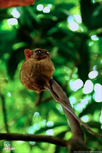 Tarsier 眼鏡猴