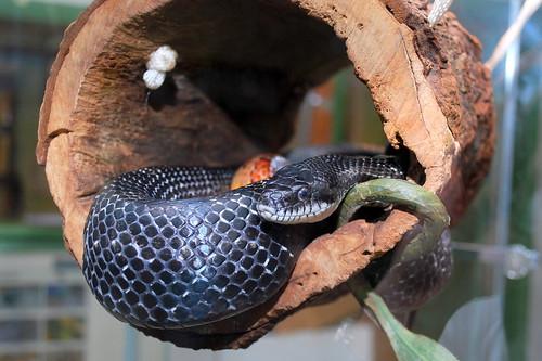 Meet at naturalist: rat snake and corn snake
