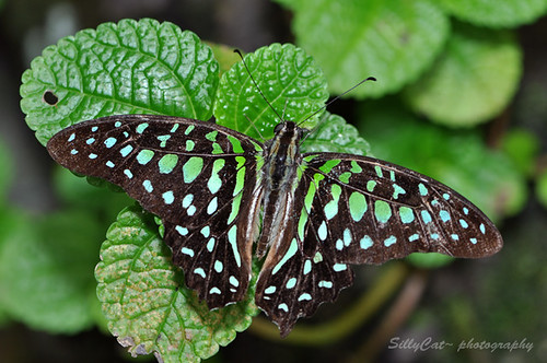 Tailed Jay (Graphium agamemenon)