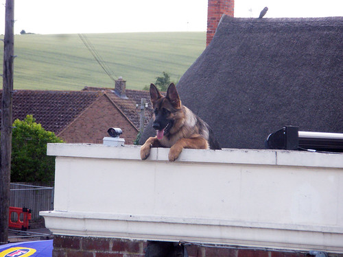 The German Shedder from the last picture, only his face, neck, and front paws visible, is lying down on a flat bit of roof with his big ol front paws hanging over the edge.  Next to him is a security camera.