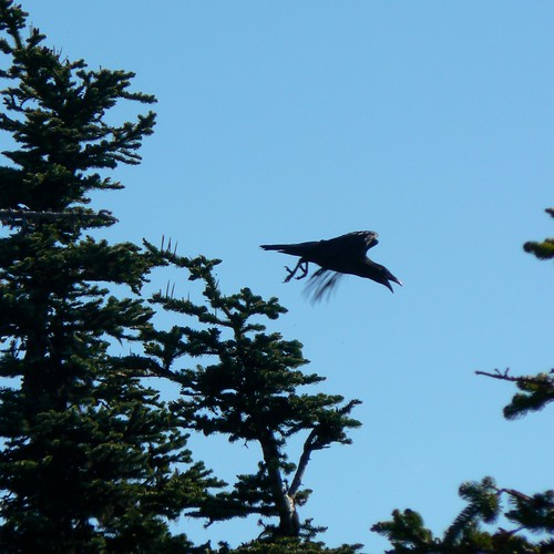 Raven in flight, Olympic NP