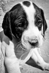 A Sad Puppy (GDShot) Tags: bw nature colors monochrome animals cane portraits puppy sadness monocromo blackwhite natura sensations ritratti animali feelings cucciolo tristezza sensazioni luoghi gottasecca stilisoggetti