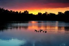 Duck Family Enjoying a Sunset Cruise (NaturalLight) Tags: park family sunset water creek reflections duck ducklings kansas mallard wichita chisholm chisholmcreekpark peregrino27newvision