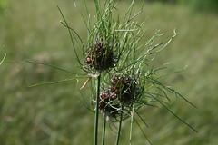 wild garlic 3