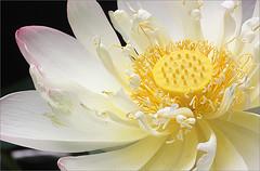 Lotus Flower - IMG_1184 (Bahman Farzad) Tags: flower macro yoga peace lotus relaxing peaceful meditation therapy lotusflower lotusflowers lotuspetal lotuspetals lotusflowerpetals lotusflowerpetal