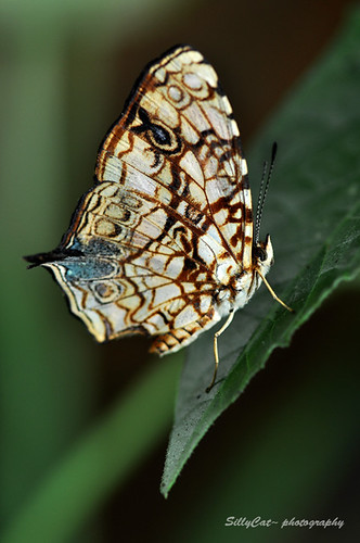 Comomn Jester (Eurema glanda snellent) 散紋盛蛺蝶