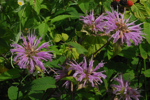 Bergamotplant 'Blaustrumpf'