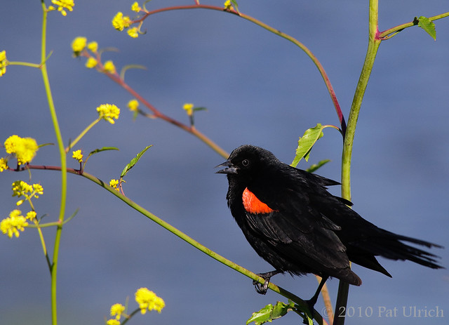 Blackbird in the flowers