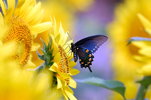 Pipevine Swallowtail Butterfly on Sunflower desktop wallpaper background