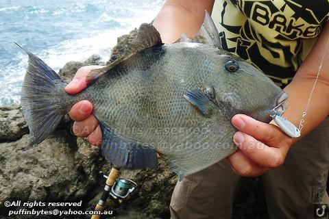 Grey Triggerfish - Balistes carolinensis