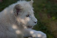White Lion | IMG_0915