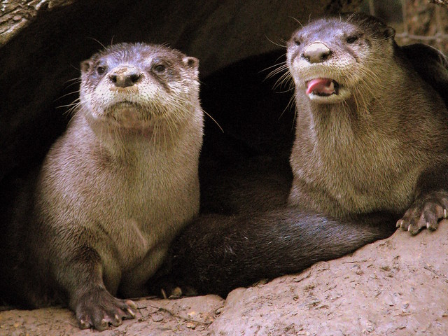 Knoxville Zoo Otters