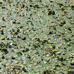 Fringed Water-lily / Nymphoides peltata / 浅々菜(アサザ) thumbnail