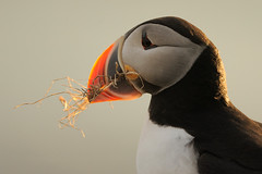 Puffin (Fratercula arctica) (m. geven) Tags: ocean orange bird nature animal fauna bill iceland clown natuur puffin dier avian vogel seabird oranje isl avifauna westfjords oceaan fraterculaarctica papageitaucher birdcliff alcidae ijsland papegaaiduiker clownesk snavel macareuxmoine latrabjarg specanimal zeevogel vogelrots colonybird viseter kolonievogel ijslandiceland alkachtige klifvogel fischeater vogelklif