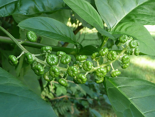 Green pokeweed fruit