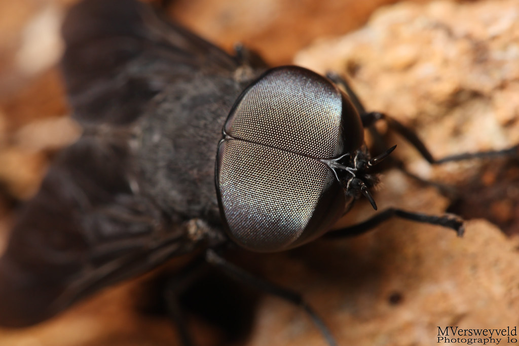 how to find robber flies
