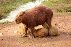 Capivara 2 (Hidrochoerus hidrochoeris) (PhotoEngLT) Tags: canon capybara capivara potofgold flickrunitedaward photoenglt