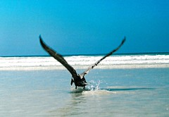 Pelican mid-flight (PeterWard78) Tags: blue sea beach southamerica water ecuador flight pelican thegalpagosislands