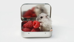 Hamster loves raspberries (Dragan*) Tags: red party vacation portrait food pet baby pets white macro reflection cute love animal closeup fruit mouse mirror rodent furry berry friend funny play heart sweet box eating live small serbia adorable fluffy valentine fresh whiskers dolce hamster raspberry belgrade russian beograd hammy valentinesday srbija hammie mitza giap dragutza singidunum београд russianwinterwhitedwarfhamster siberianhamster phodopussungorus djungarianhamster