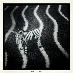 familiar territory (nardell) Tags: lines toy stripes zebra adaptation cellphonepics iphone zebraprint