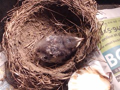 Baby bird fell out of nest