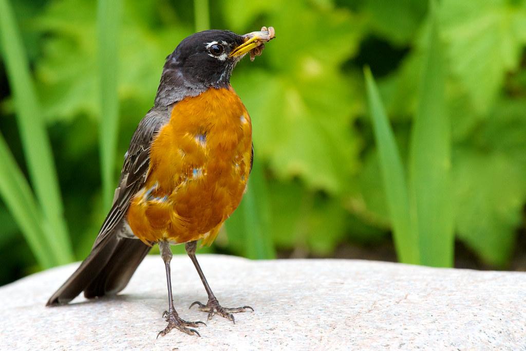 Robin 286/365
