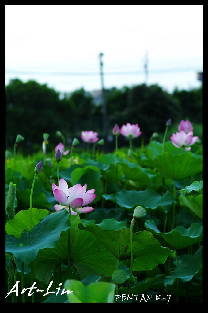 荷花 in 湖口長安 Part2