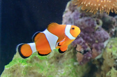 Ocellaris Clownfish by edanley, on Flickr