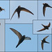 Swifts (montage)