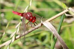 Scarlet dragonfly  - Feuerlibelle (Crocothemis erythraea) (Maggi_94) Tags: macro nature insect natur makro libelle insekt insekten libellulidae anisoptera libellen crocothemiserythraea scarletdragonfly feuerlibelle segellibellen segellibelle groslibellen feuerlibellen