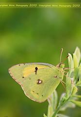 G R E E N ! (mzna al.khaled) Tags: macro green canon butterfly yallow natrue 70mm  50d  platinumphoto   mzna