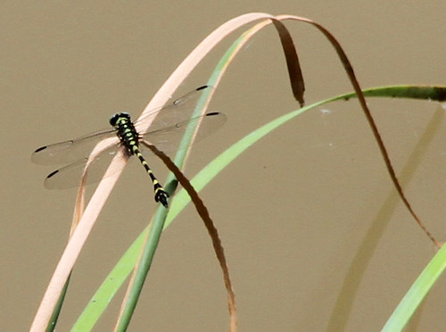 dragonfly Inle
