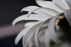 ain't that a daisy (Eyes of the Muse) Tags: blue white grey petals bokeh perspective daisy curl slate awesomeblossom
