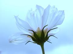 [フリー画像] 花・植物, キク科, コスモス・秋桜, 201008091300