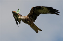 Red Kite (Gareth Scanlon) Tags: uk red kite milan bird home wales garden rouge fly bill back backyard nikon carmarthenshire tag tail flight wing beak feather tagged sharp iso talon raptor 200 prey welsh endangered carrion nikkor predator rare gareth scanlon soar birdofprey f63 redkite milvus milvusmilvus forked barcud 210mm rotmilan of brynamman d300s garethscanlon nikkoraf70300mf1456g f1456g