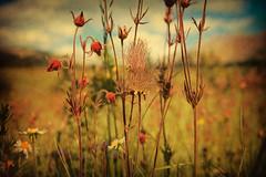 Talk to me with flowers, my love (JoLoLog) Tags: flowers summer canada colors alberta wildflowers lorien yahatindaranch canonxsi bestcapturesaoi elitegalleryaoi