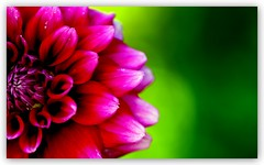 Happy Colors - Mutlu Renkler (Celalettin Gne) Tags: flowers color macro green nature beautiful leaves rose closeup turkey garden nikon trkiye lila turquie trkorszg trkei tulip sheet gl bahe makro turqua turchia iek yeil gzel  tirkiye turkei turcja lale  renk yaprak tabiat renkler  turki fidan evre zambak  yaknekim eflatun   turchiacelalettingne wwwgunesgentr wwwgnegentr