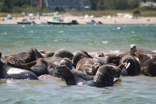 Cape Cod - Chatham Bars Inn - North Shore - Seals 2