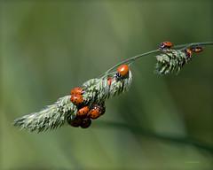 Ladybug Hangout (Joan Gellatly) Tags: arizona tucson creative ladybugs moment mtlemmon creativemoment