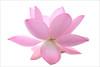 Hi-Key Pink Lotus Flower - Lotus_Petals, IMG_6329 (Bahman Farzad) Tags: pink flower macro yoga high key peace waterlily lotus relaxing peaceful hi meditation therapy lotusflower lotuspetal lotuspetals lotusflowerpetals lotusflowerpetal