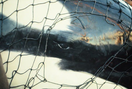 Lolita in Captivity - Penn Cove