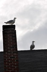 Seagull_7410b