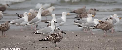 European Herring Gull, 1cy, G[K.WAZ]