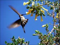 Kolibrie_Cocacabana_x1200 (pottomann) Tags: chile peru bolivien parinacota ninia kolibri pomerape