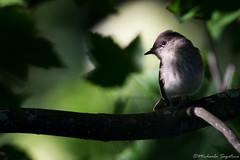 Eastern Phoebe (~ Michaela Sagatova ~) Tags: bird nature flycatcher sayornisphoebe easternwoodpewee thewonderfulworldofbirds michaelasagatova