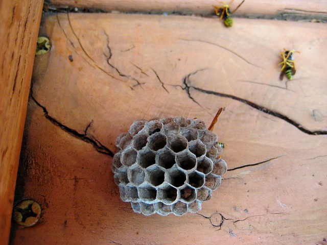 2010-08-10 wasps 003