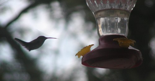 hummingbird08-09-10rs