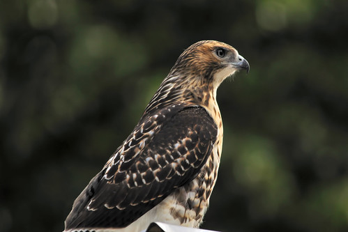 red tailed hawk chimney 8 2008